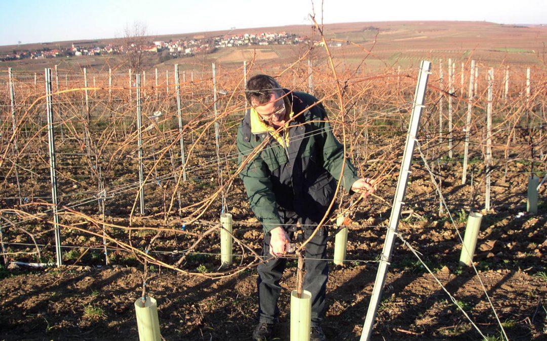 Weinberge schneiden, Arbeiten im Winter